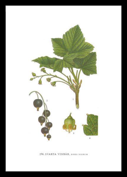 Poster Svarta Vinbär