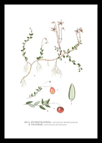 Poster Tranbär, Vaccinium Oxycoccos