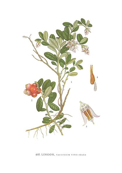 Gratulationskort Lingon, Vaccinium Vitis-Idaea
