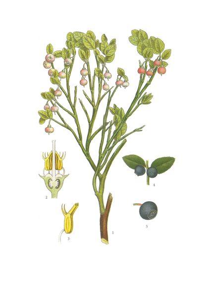 Gratulationskort 5,5x8,5 Blåbär, Vaccinium Myrtillus