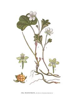 Gratulationskort 5,5x8,5 Hjortron, Rubus Chamaemorus