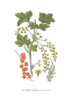 Gratulationskort 5,5x8,5 Röda Vinbär, Ribes Rubrum
