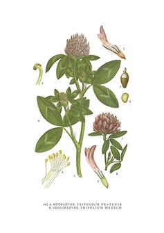 Gratulationskort 5,5x8,5 Rödklöver, Trifolium Pratense