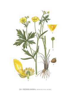 Gratulationskort 5,5x8,5 Smörblomma, Ranunculus Acris