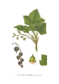 Gratulationskort 5,5x8,5 Svarta Vinbär, Ribes Nigrum