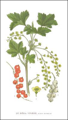 Tändsticksask - Röda Vinbär