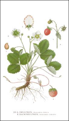 Tändsticksask - Smultron